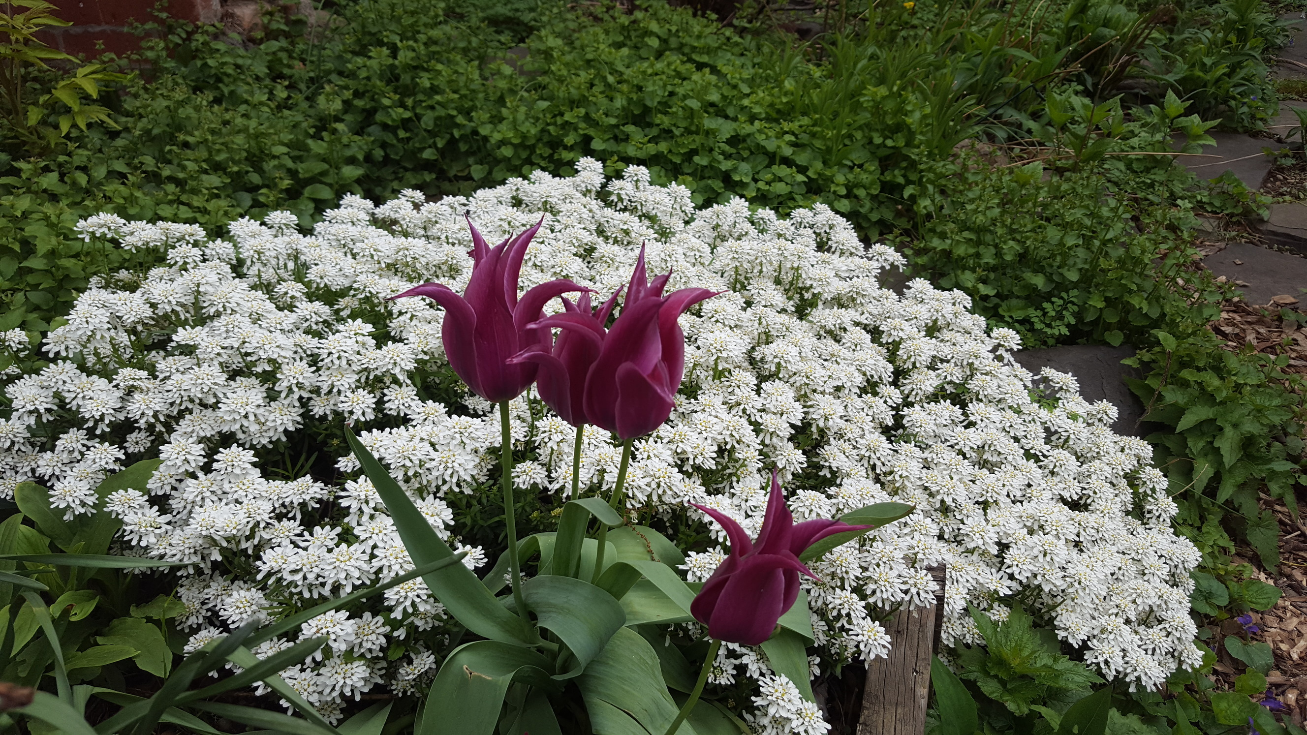 Tulip and Iberis Sempervirens I