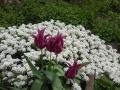 Tulip and Iberis Sempervirens I