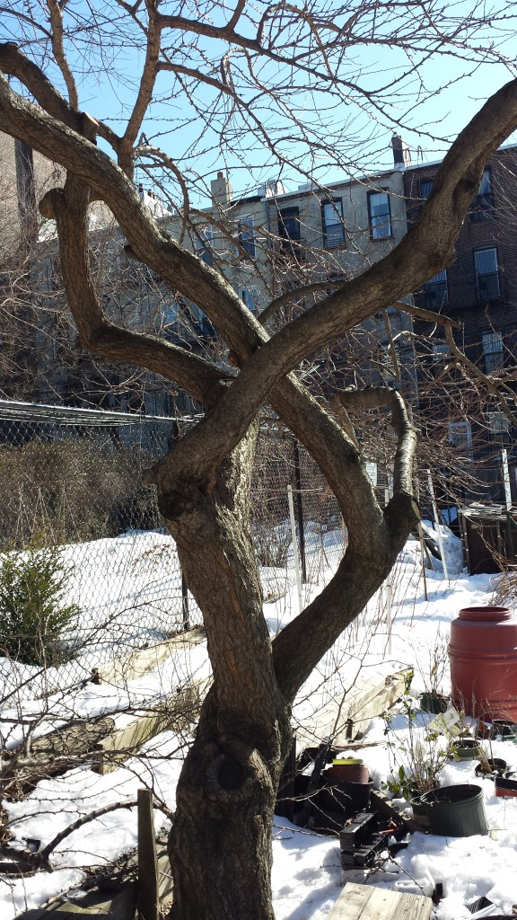 2015-winter-pruning-2-plum-trunks