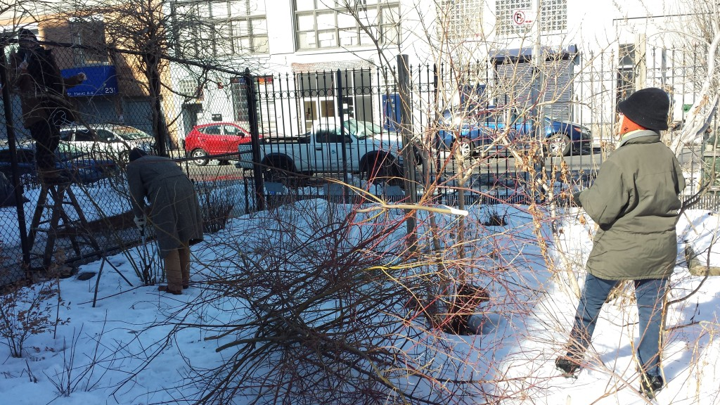 2015-winter-pruning-7-pile-of-cornus-and-pruners